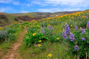 This March 29, 2015, photo shows trails at Columbia Hills State Park on the Washington side of the Columbia River Gorge. Blooms of wildflowers that arrive with spring provide a great reason to get outdoors, and few places in the Pacific Northwest offer better showcase than the eastern side of the Columbia River Gorge. (Zach Urness/Statesman-Journal via AP)